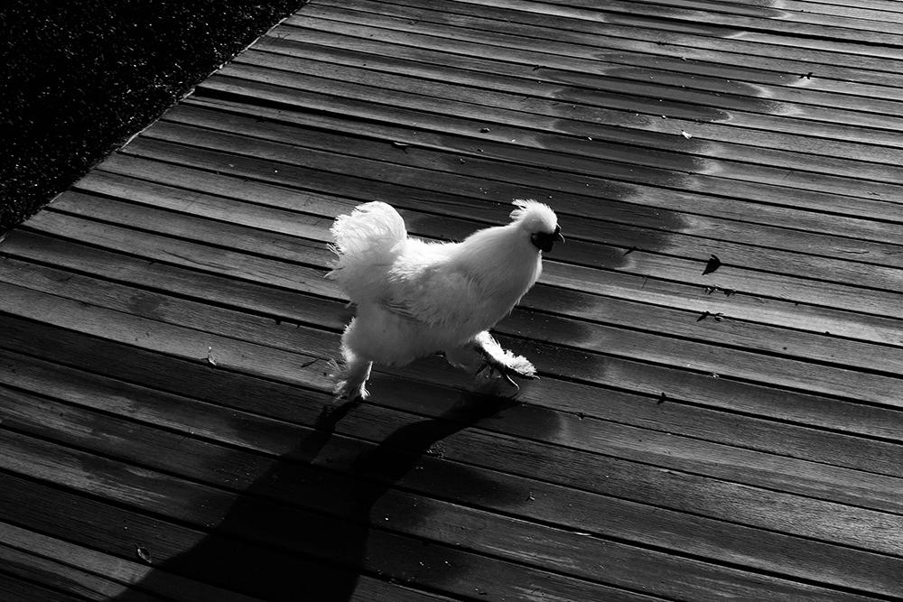 Chasing a chicken with Chef David Schneider at Chefs Warehouse Maison.